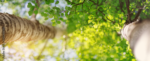 Wall mural New birch leaves on green spring background. Fresh foliage in the forest in nature with beautiful sunlight