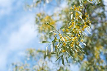 Elaeagnus angustifolia tree blooming
