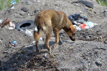 Homeless stray dog at illegal junk dump. Ecology of Ukraine. Nature near Ukrainian capital.