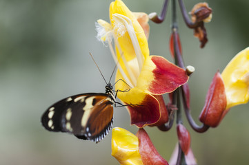 Butterfly, lepidoptera, Passion butterfly, Heliconius / Passion butterfly, Heliconius eating at a flower.
