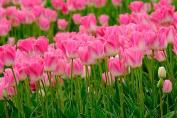 Papiers peints Rose banbon Tulipes roses sur le champ. Provence, France.