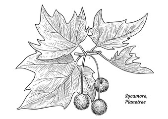 Sycamore, plane tree illustration, drawing, engraving, ink, line art, vector