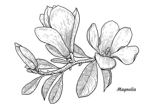 Magnolia flower illustration, drawing, engraving, ink, line art, vector