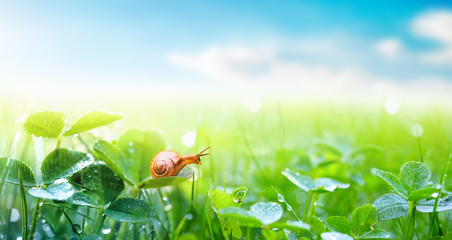 Lovely snail in grass with morning dew, macro, soft focus. Grass and clover leaves in droplets of water in spring summer nature on background blue sky with clouds, panoramic view, copy space. Fototapete