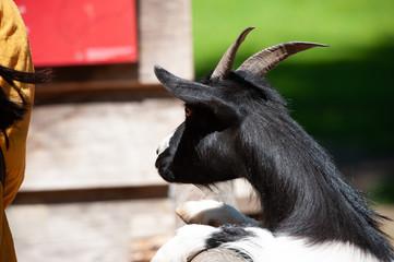 Neugierige Ziege im Streichelzoo