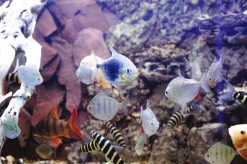 beautiful exotic large aquarium fish swimming in the water, marine life of the underwater world