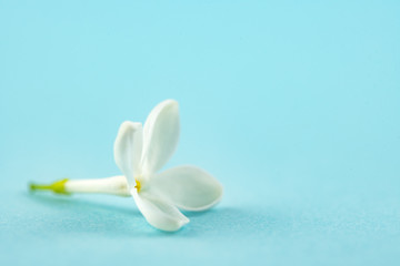 White Small Lilac Flower on Blue Background