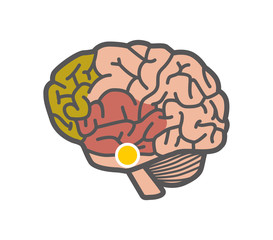 Drawing of the brain. Isolated object on white background
