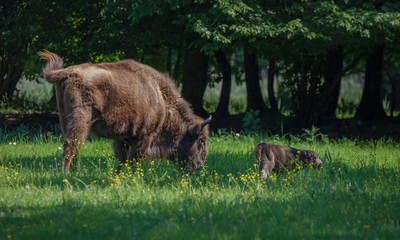 European Bison - Wisent with calf