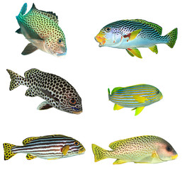 Tropical fish isolated. Sweetlips fish cutout on white background
