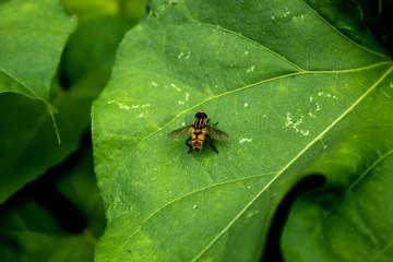 Yellow flies on leaves.