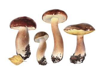 Watercolor illustrations of boletus mushrooms
