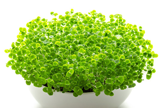 Basil microgreens in white bowl. Sprouts, green seedlings, young plants, leaves and Cotyledons of Ocimum basilicum, also Saint-Joseph's-wort, in potting compost. Macro photo, front view, over white.