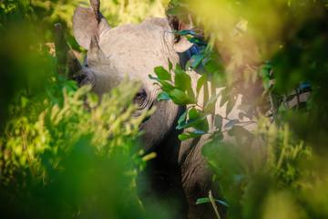 Rhino hiding in vegetation in Liwonde N.P. - Malawi