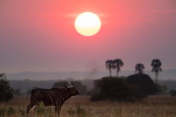 Buffalos at sunset in Liwonde N.P. - Malawi
