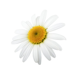 One daisy flower isolated on white background