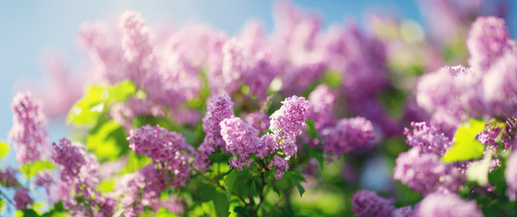Lilac flowers blooming outdoors. Spring blossom background on sunny day