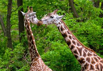 Pair of giraffes kissing in the bush.
