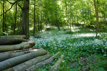 A log pile against the wild garlic background