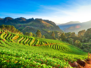 beautiful rows of strawberry plant, farming in the high mountain hills in the morning