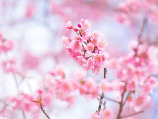 Spoed Fotobehang Kersenbloesem pink sakura flowers, beautiful Cherry Blossom in nature .