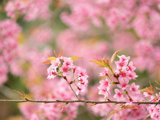 pink sakura flowers, beautiful Cherry Blossom in nature