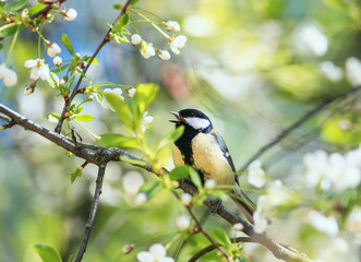 cute bird tit sings a beautiful song in spring garden on branch in may flowers