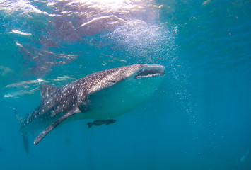 Whale shark in the blue sea.
