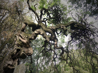 Old gnarled tree stock images. Twisted tree in the cemetery. Old tree in the park