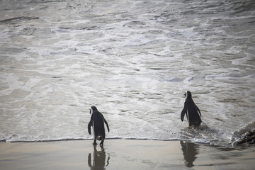 Cute African Penguin couple walking towards the water at sunrise on Boulders Beach, Cape Town, South Africa.