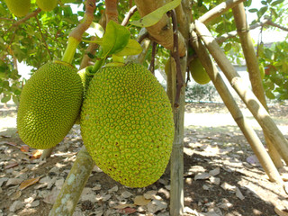 Thai unripe green jackfruits from organic farm.