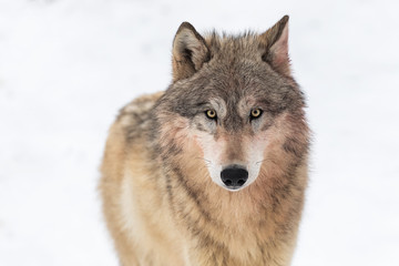 Grey Wolf (Canis lupus) Looks Out Against White