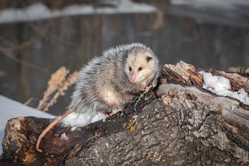 Wall Mural - Opossum (Didelphimorphia) Looks Out From Atop Log