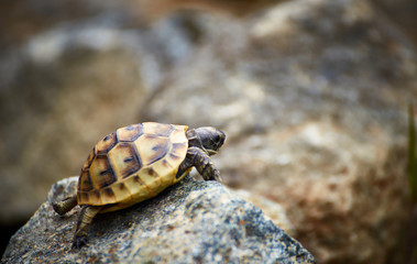 The tortoise creeps in the wild on the rocks in the summer.