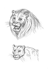 Pencil sketch of lion, hand drawing