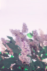 Blurred floral background. A gentle natural natural background. Lilac flowers with free space for text