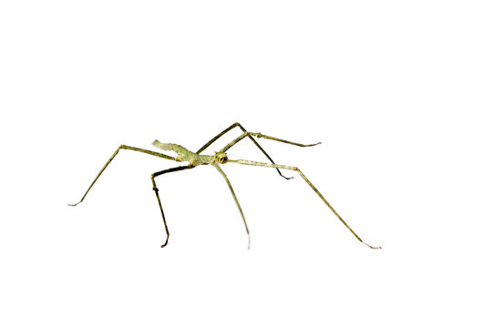 Annam Stick Insect. Annam Walking Stick.