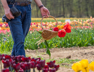 A hand of a man is holding a basket of tulip flowers