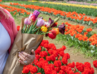A hand of a woman standing by a tulip farm is holding a bouquet of tulip flowers