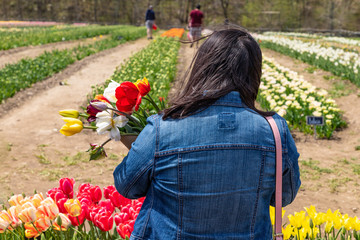 A woman view from the back is standing by a tulip farm and holding a bouquet of tulip flowers