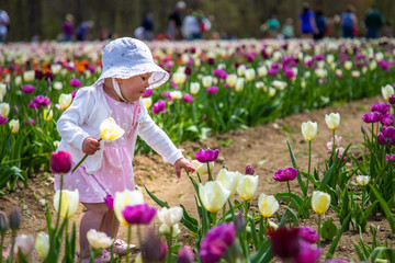 A toddler in a tulip farm is holding a yellow tulip and picking a flower