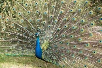Peacock Spreading Tail