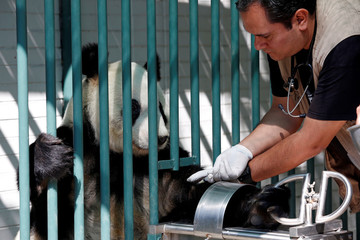 Veterinarian Alberto Olascoaga takes a blood sample from Xin Xin, a female giant panda, inside her enclosure at Chapultepec zoo in Mexico City