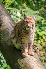 Spoed Foto op Canvas Lynx Lynx sitting on a fallen tree trunk