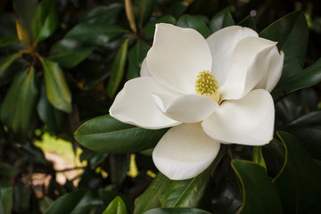 Wall Murals Magnolia Flower of the Magnolia grandiflora, the Southern magnolia or bull bay, tree of the family Magnoliaceae