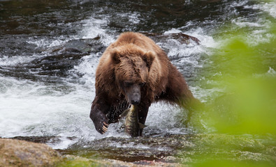 Brown Grizzly Bear Hunting Salmon in a River in Alaska