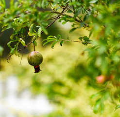 Green pomegranate on the tree. Pomegranate fruit on tree branch