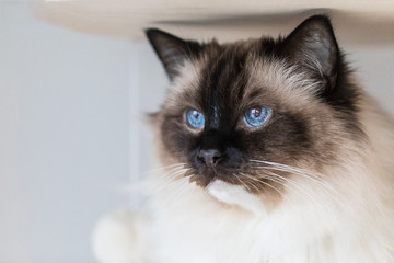 Beautiful ragdoll cat