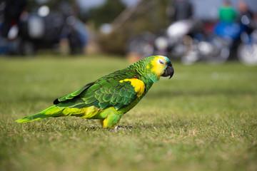 Parrot strolling on grass field
