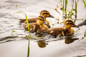 Ducklings waddle on lily pads and swim on a lake in Seattle